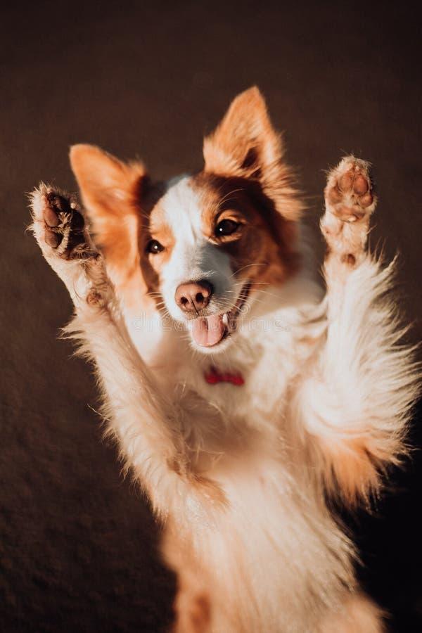 El perro feliz del retrato lindo rojo del border collie hace una actitud divertida fotografía de archivo libre de regalías