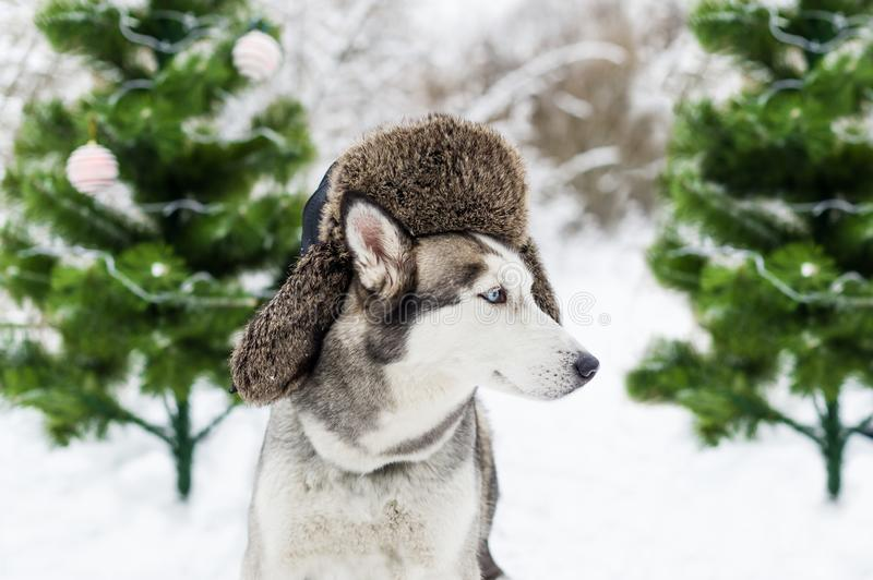 El perro fornido divertido está en sombrero caliente con las aletas del oído y los abetos verdes fotos de archivo