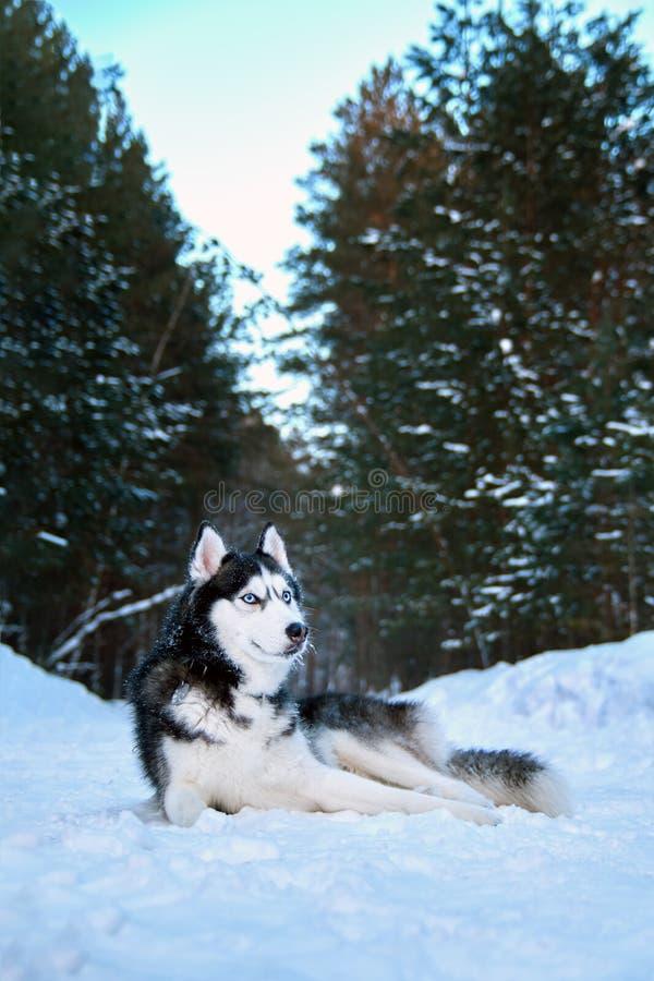 El perro fornido hermoso miente en nieve en husky siberiano blanco y negro noble del bosque del invierno con los ojos azules que  imágenes de archivo libres de regalías