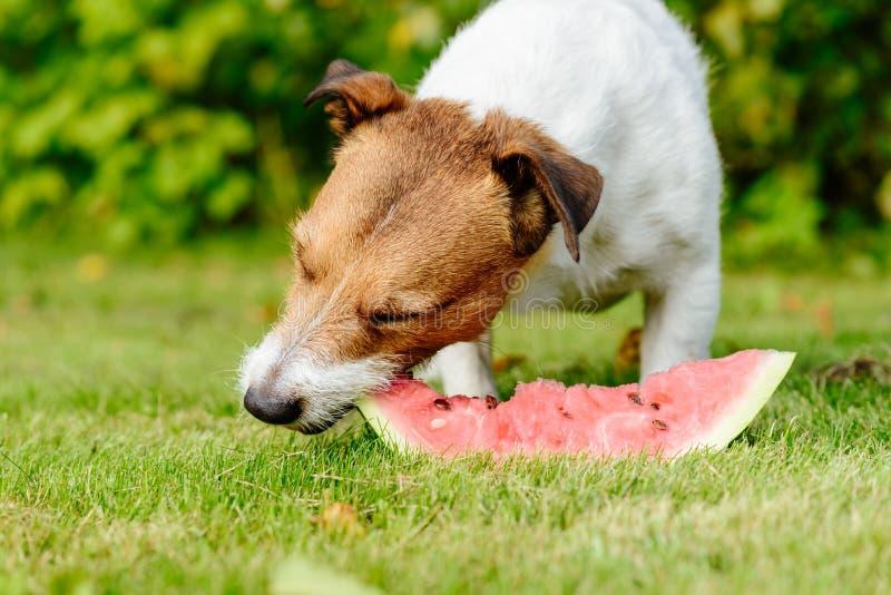 El perro goza el comer de la rebanada de sandía madura fresca fotos de archivo