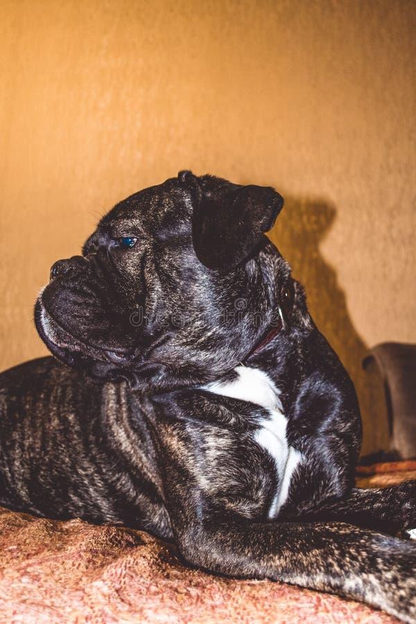 El perro grande y negro miente y tiene una raza del resto de Kan Corso, dogo francés Bozal precioso y arrugado pet Nariz grande fotografía de archivo