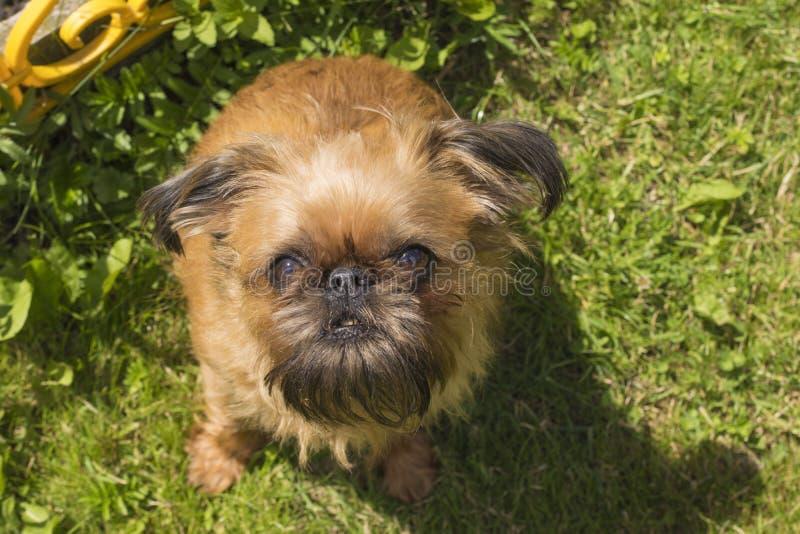 El perro, griffon de Bruselas imagenes de archivo