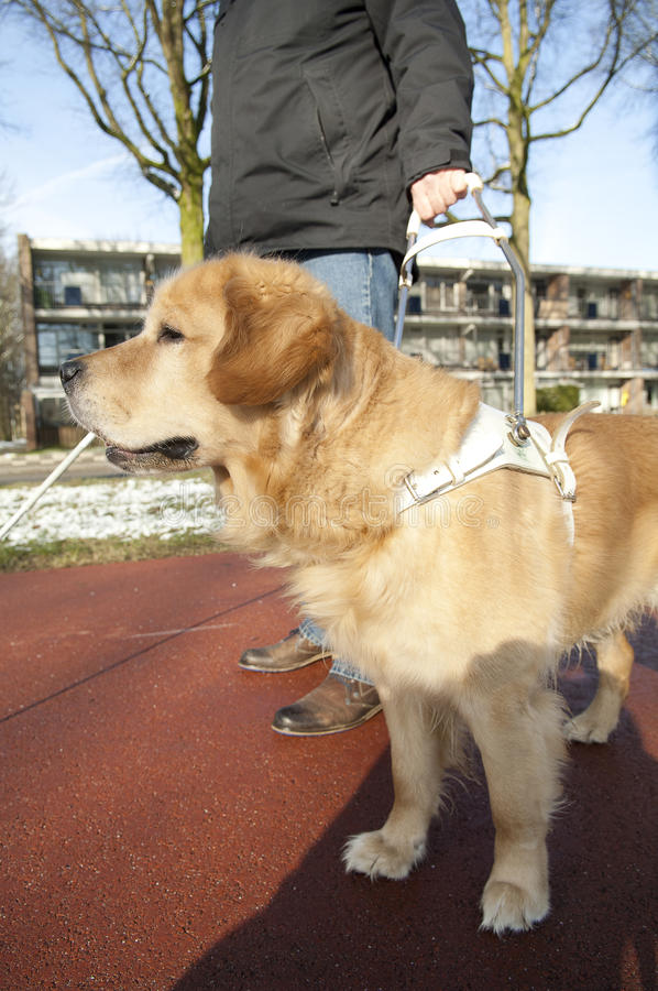 El perro guía está ayudando a un hombre ciego foto de archivo