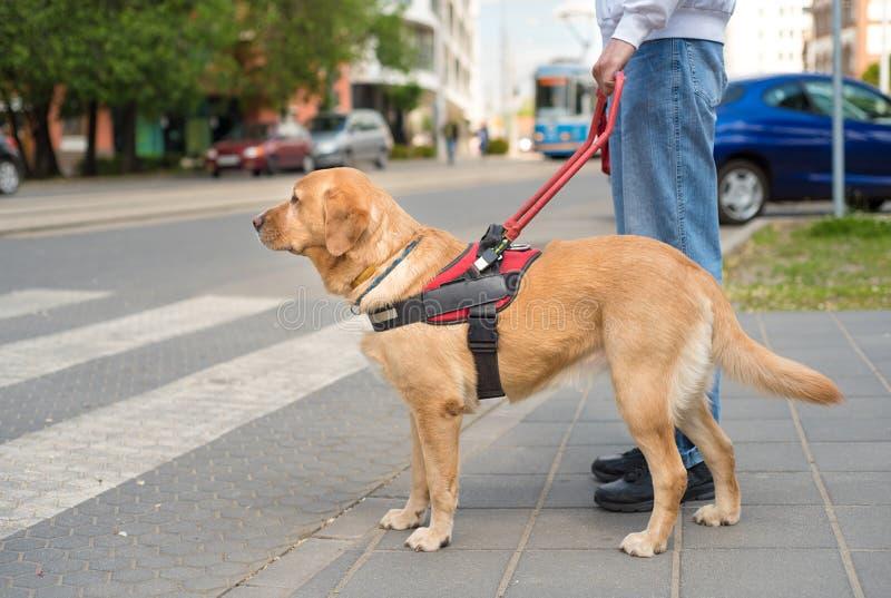 El perro guía está ayudando a un hombre ciego imágenes de archivo libres de regalías