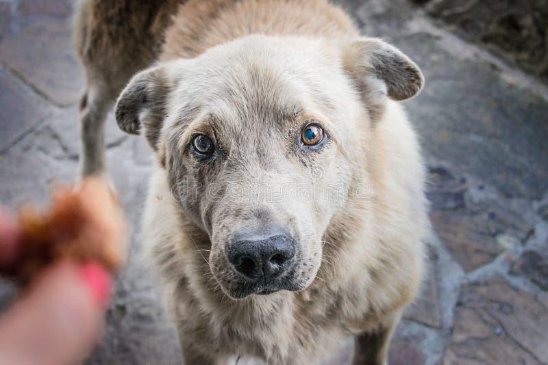El perro hambriento sin hogar grande con los ojos tristes pide la comida El h de una mujer foto de archivo