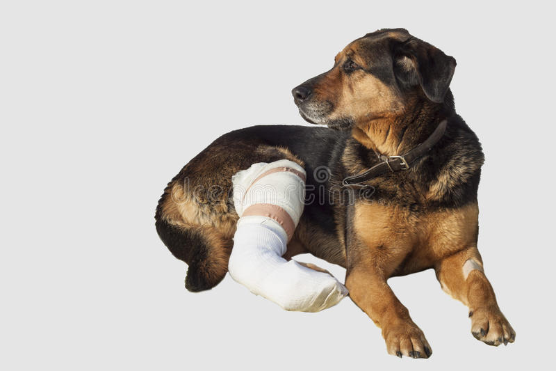 El perro herido, una pierna quebrada, perro observa fotografía de archivo