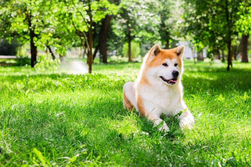 El perro japonés Purebred Akita inu, camina por la naturaleza fotografía de archivo