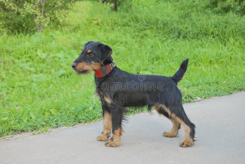 El perro joven cría el terrier alemán de la caza fotos de archivo