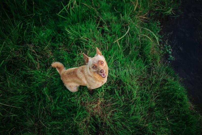 El perro le gusta el zorro que se sienta en hierba verde y que mira para arriba imagenes de archivo