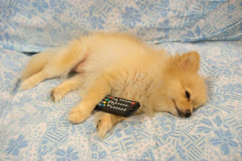 El perro lindo cayó dormido porque la TV está agujereando imagen de archivo libre de regalías