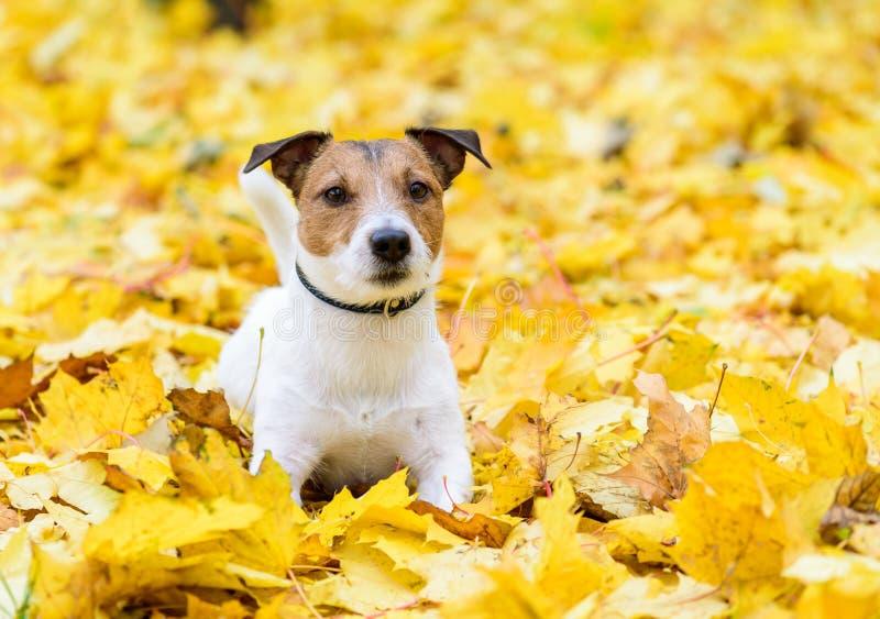El perro lindo de Jack Russell Terrier que se acuesta en el otoño amarillo caido se va imagen de archivo
