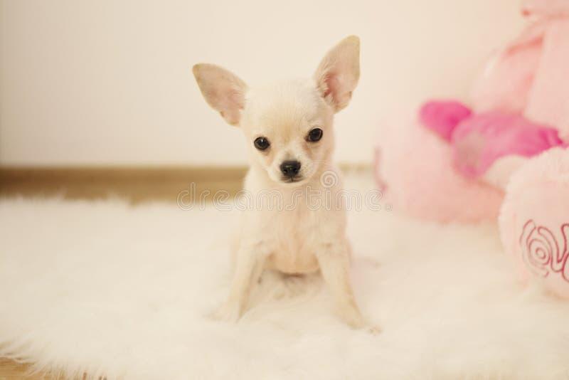 El perro lindo de la chihuahua del bebé sienta en la alfombra blanca en sitio, dentro, el hogar dulce foto de archivo libre de regalías