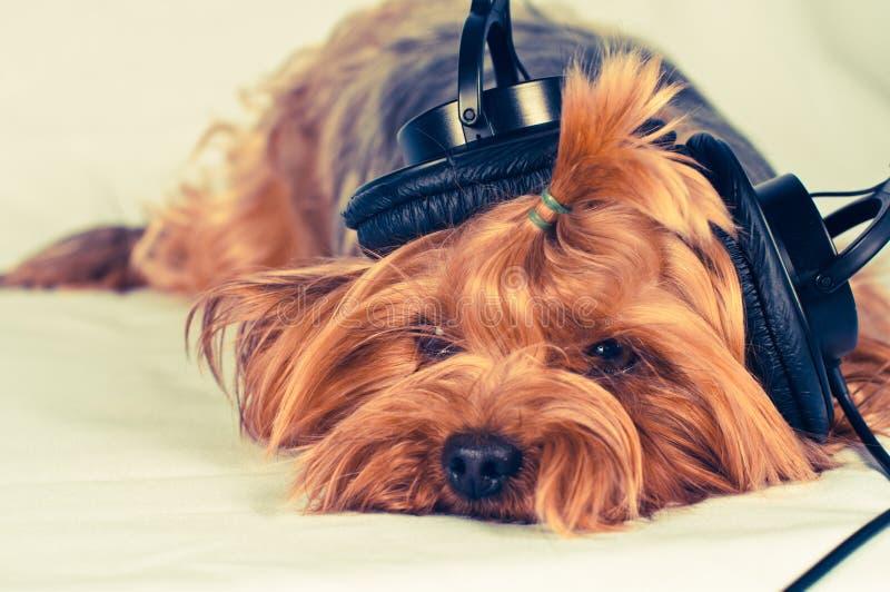 El perro lindo escucha la música fotografía de archivo