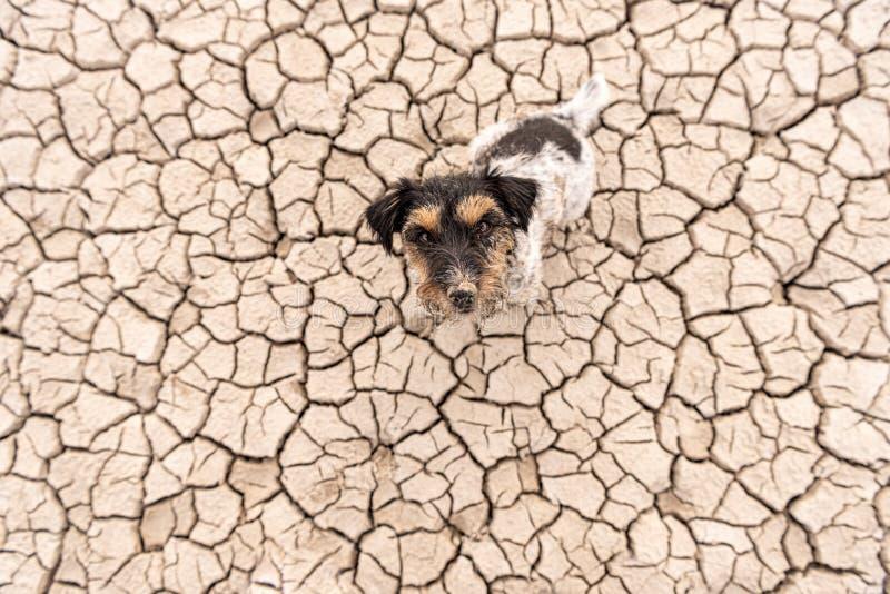 El perro lindo se está sentando en un desierto arenoso seco y está mirando para arriba - a Jack Russell Terriers sucio fotografía de archivo