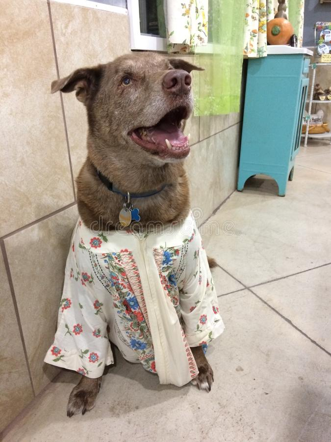 El perro marrón grande en MU MU vistió para arriba el perro divertido en la ropa del vintage feliz imagen de archivo