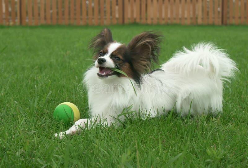 El perro masculino joven hermoso Toy Spaniel Papillon continental come la hierba en césped verde imágenes de archivo libres de regalías