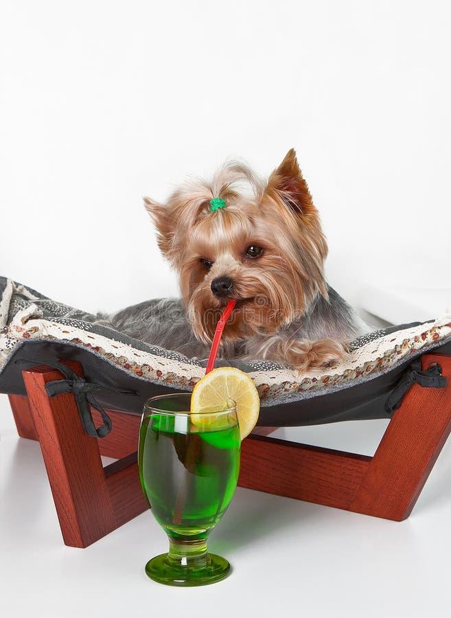 El perro miente en el sofá con una paja en su boca y bebe un cóctel del limón imagen de archivo libre de regalías