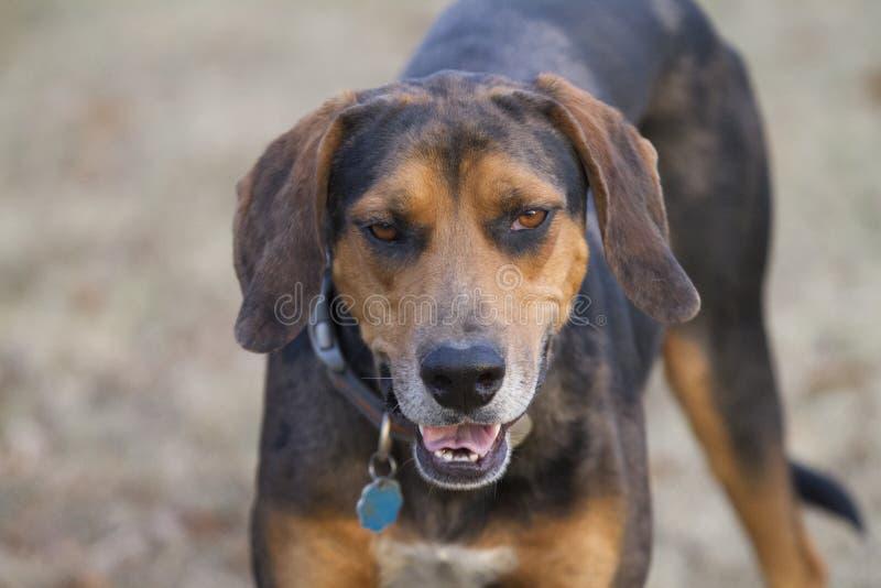 El perro mira expresión cansada, tonta foto de archivo libre de regalías