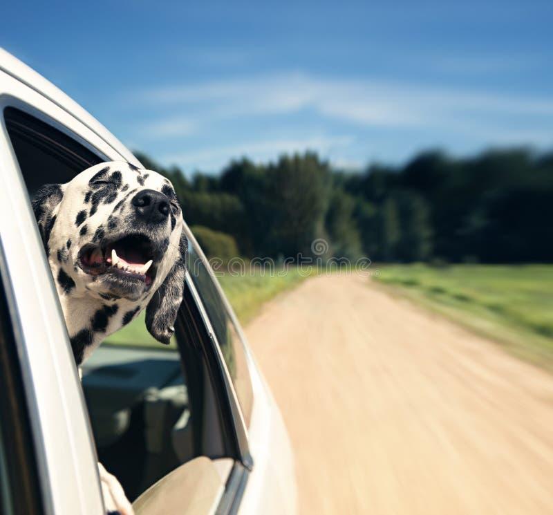 El perro mira fuera de la ventanilla del coche fotografía de archivo