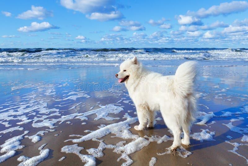 El perro mullido blanco del samoyedo camina a lo largo de la playa en el fondo del mar tempestuoso imagenes de archivo