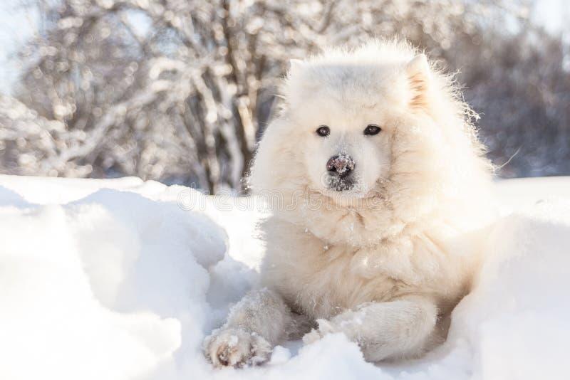El perro mullido sonriente del samoyedo pone en nieve del invierno fotos de archivo