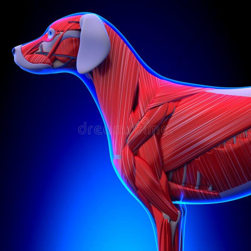 El Perro Muscles La Anatomía - Anatomía De Los Músculos De Un Perro ...