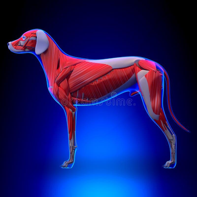 El Perro Muscles La Anatomía - Sistema Muscular Del Perro Stock de ...