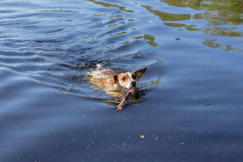 El perro nada en el agua imagenes de archivo