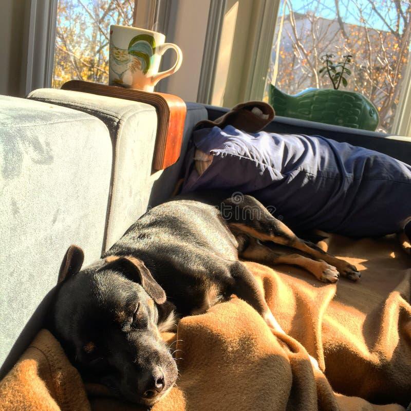 El perro negro duerme en el sofá imagenes de archivo