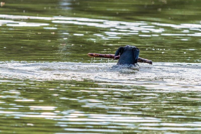 El perro negro grande nada en un agua en un lago con un palillo de madera imágenes de archivo libres de regalías