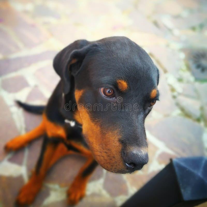El perro negro y marrón fotos de archivo