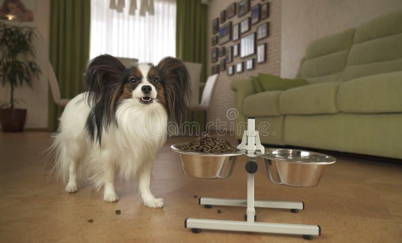 El perro Papillon come la comida seca de un cuenco del metal en un soporte en sala de estar fotos de archivo libres de regalías