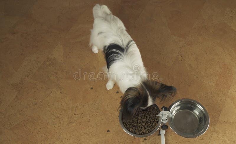 El perro Papillon come la comida seca de un cuenco del metal en un soporte en sala de estar imagenes de archivo