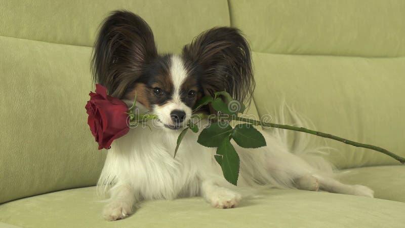 El perro Papillon mantiene la rosa del rojo su boca en amor el día de tarjetas del día de San Valentín fotografía de archivo