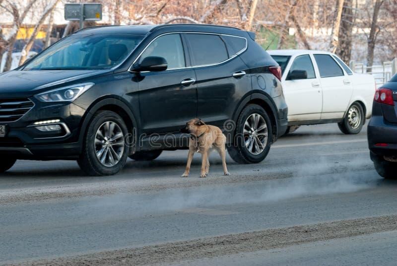 El perro pastor asustado acomete en el camino entre los coches fotografía de archivo libre de regalías
