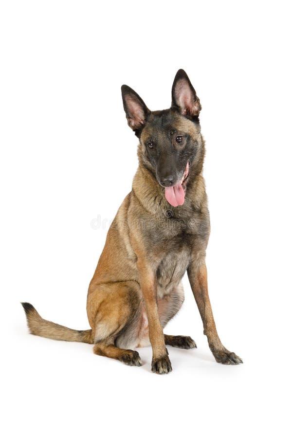 El perro pastor belga Purebred Malinois sentado sobre blanco imagenes de archivo