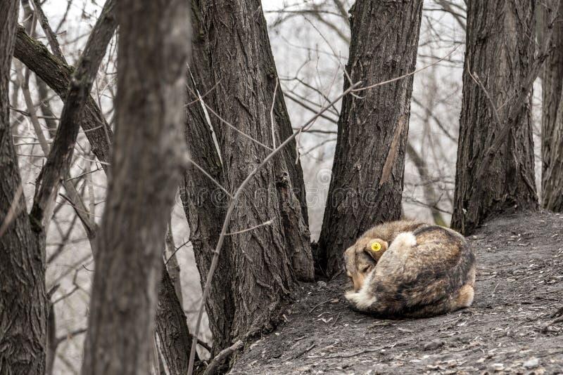 El perro perdido miente en la tierra en la esterilización del parque o del bosque de animales sin hogar foto de archivo