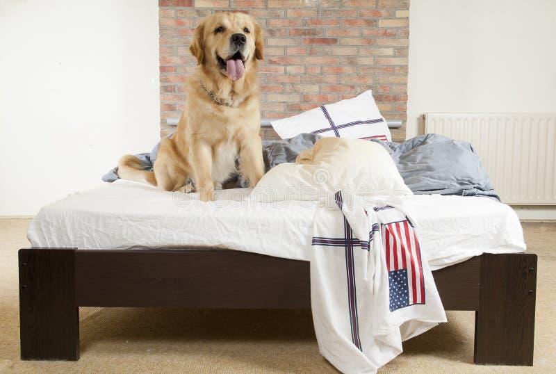 El perro perdiguero de oro demuele una almohadilla foto de archivo libre de regalías