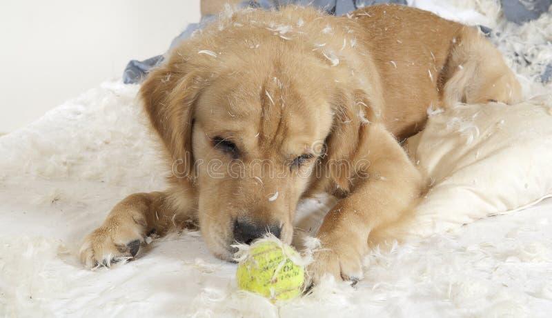 El perro perdiguero de oro demuele una almohadilla fotos de archivo