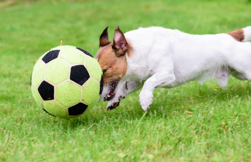 El perro que juega con el balón de fútbol del fútbol muestra el goteo en alto paso imágenes de archivo libres de regalías