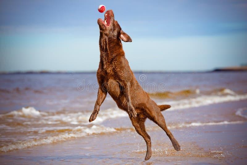 El perro que salta hasta la captura una bola imagenes de archivo