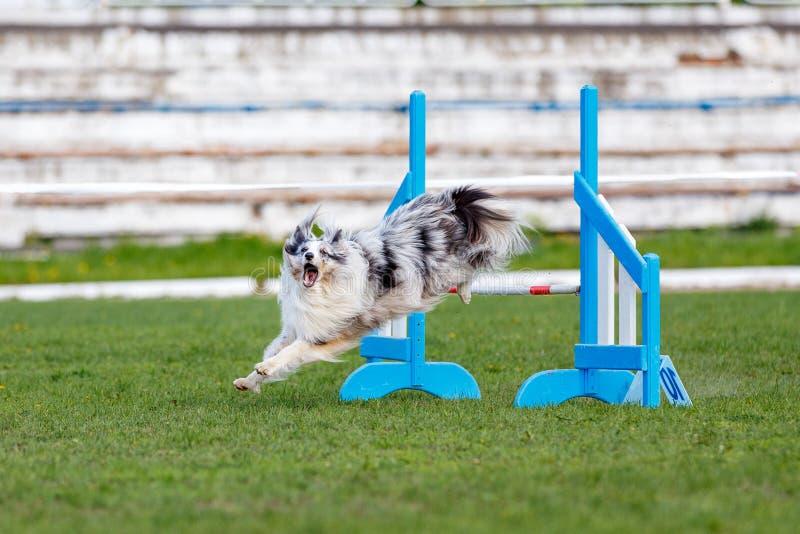 El perro que salta sobre obstáculo en la competencia de la agilidad imagen de archivo libre de regalías