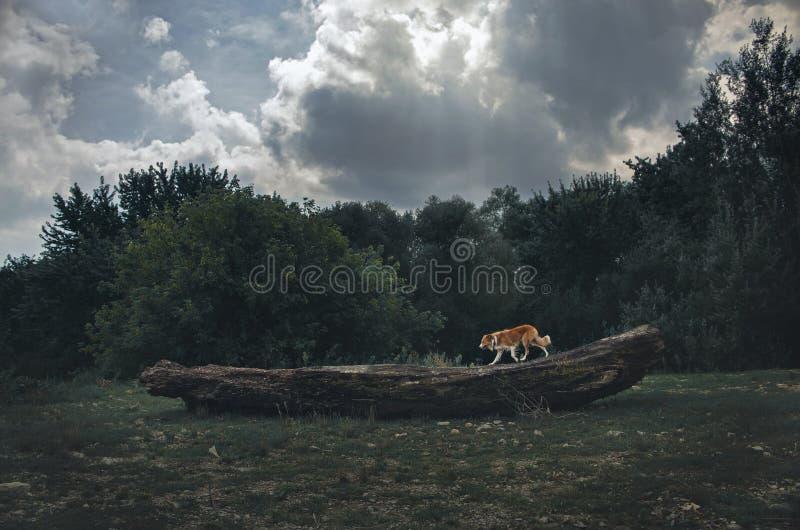 El perro rojo del border collie corre en un bosque de la oscuridad del inicio de sesión foto de archivo libre de regalías