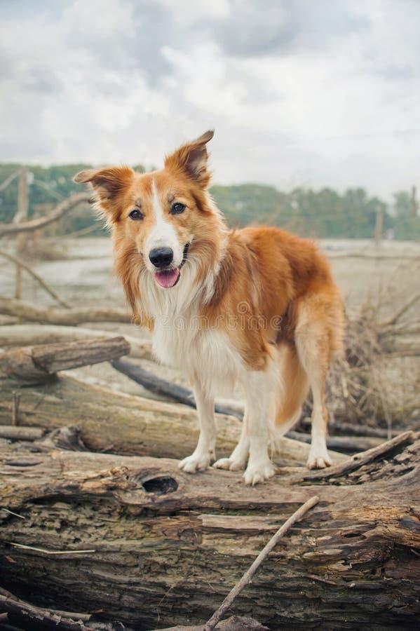 El perro rojo del border collie se está colocando en un registro fotos de archivo libres de regalías