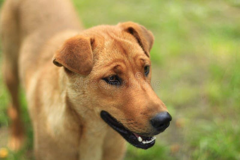 El perro rojo se coloca en la hierba verde imagen de archivo