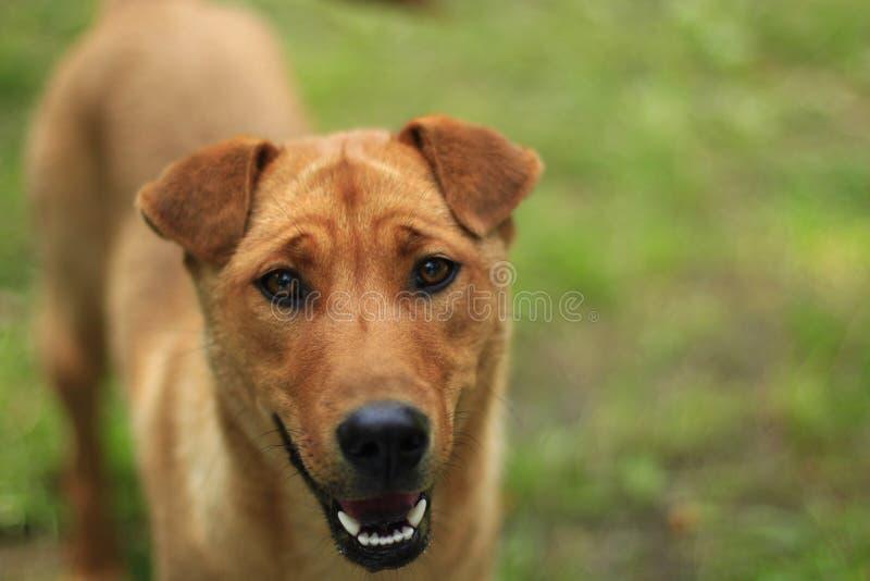 El perro rojo se coloca en la hierba verde fotos de archivo libres de regalías