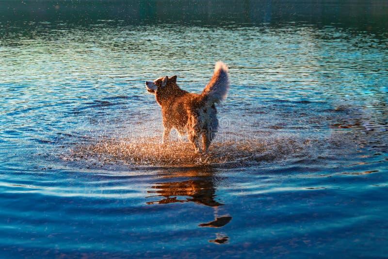 El perro sacude el agua después de bañar en el río El husky siberiano sacude apagado el agua en los rayos del sol poniente Paseo  foto de archivo libre de regalías