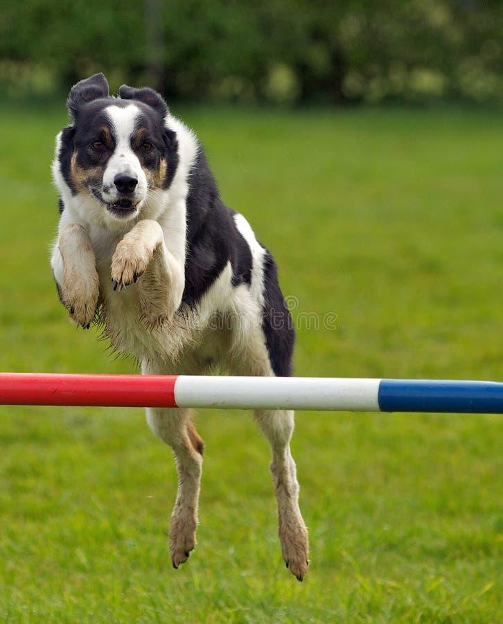 El perro salta foto de archivo libre de regalías