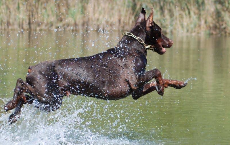 El perro salta en el agua fotos de archivo