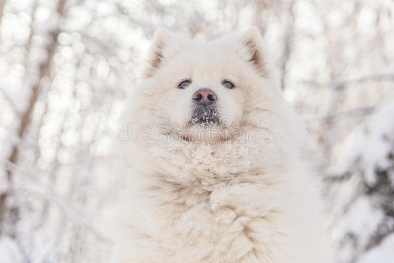 El perro sonriente del samoyedo pone en nieve del invierno fotos de archivo